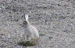 Arctic hare (Lepus arcticus)